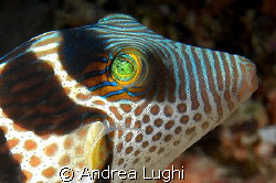 A Saddled Puffer (Canthigaster valentini) portrait. Could... by Andrea Lughi