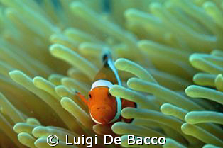 Clownfish and anemone looking straight to me.