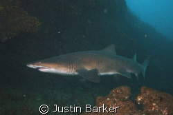 Ragged tooth shark in Aliwal Shoal east coast. by Justin Barker