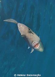 Triggerfish (Balistes capriscus). by Helena Encarnação
