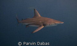 blacktip.natural light using magic filter. by Parvin Dabas