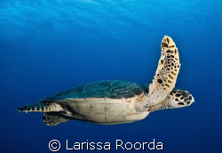 At peace with a turle floating by.  Little Cayman. by Larissa Roorda
