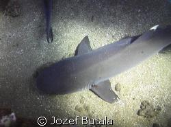 siesta time,,,,whitetip reef sharks by Jozef Butala