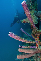 Sponges growing on the Prince Albert wreck.  Roatan, Hond... by Ross Gudgeon