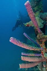 Sponges growing on the Prince Albert wreck.  Roatan, Hond... by Ross Gudgeon