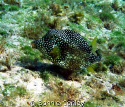 Trunkfish seen August 2008 in Grand Cayman.  Photo taken ... by Bonnie Conley