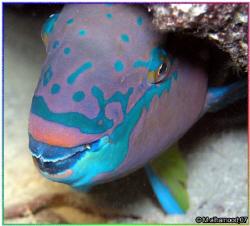 Parrotfish  It was taken in night dive    Jana Isla... by Mohammed Al Hamood