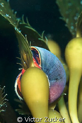 norris's top snail on kelp by Victor Zucker