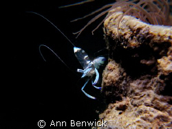 Glass Shrimp Taken in one of the dive sites in Batangas,... by Ann Benwick