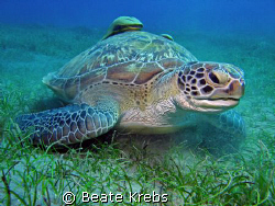 Huge Turtle at Abu Dabab taken with Canon S70 by Beate Krebs