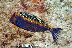 Whitespotted boxfish, male...Southern Atoll, Maldives by Larry Polster