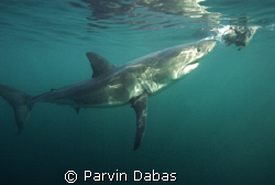 great white...they kept pulling the tuna head away as the... by Parvin Dabas
