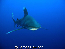 This Oceanic Whitetip shark was photographed at Daedalus ... by James Dawson