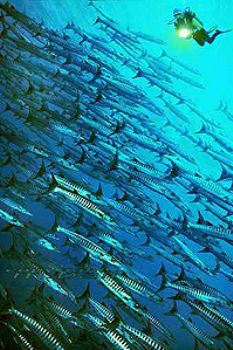 PNG - liveaboard FEBRINA - barracudas - COMPOSING > diver... by Manfred Bail