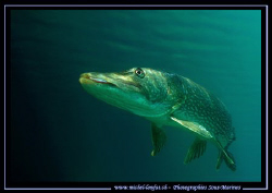 A beautiful Adult Pike Fish in the Sun Light of our clear... by Michel Lonfat