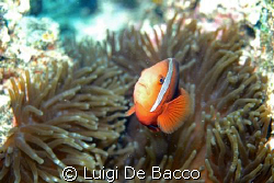 Clownfish  and anemone looking straight to me (second cha... by Luigi De Bacco