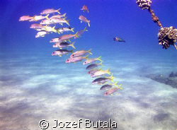 good visibility,lot of fish....what else to wish? school... by Jozef Butala