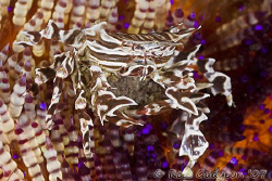 Zebra crab holding on to its eggs while hiding in a Fire ... by Ross Gudgeon