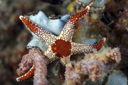 Starfish on the reef by Erika Antoniazzo