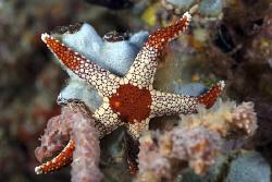 Starfish on the reef by Erika Antoniazzo