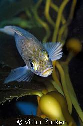 rock fish in kelp by Victor Zucker