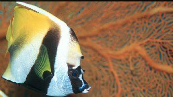 Butterfly fish and orange sea fan taken in Palau.  Housed... by Beverly Speed