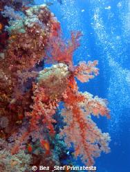 Soft coral. Canon G9 with Inon D-2000 strobe. by Bea & Stef Primatesta