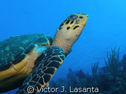 close look to lola the turtle!!! in two for you dive site... by Victor J. Lasanta