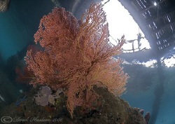 Sea fan under KBR jetty. D200, 10.5mm. by Derek Haslam
