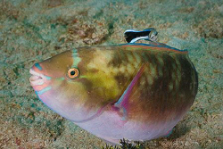 Could you just get this bit back here?  Parrotfish being ... by Ross Gudgeon