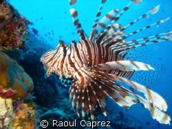 Lion Fish, Pterois volitans by Raoul Caprez