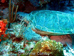 Huge turtle seen in Grand Cayman August 2008.  Photo take... by Bonnie Conley