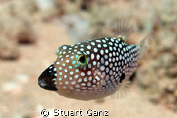 Hawaiian white spotted toby. Endemic to Hawaii. This one ... by Stuart Ganz