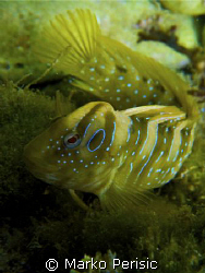 Rock Goby (gobius geniporus) by Marko Perisic