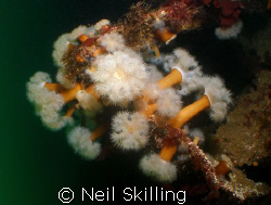 Image taken on the wreck of the Tapti off the coast of Co... by Neil Skilling