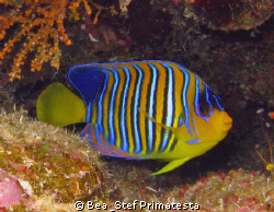 Royal angelfish (Pyglopites diacanthus). Canon G9 and Ino... by Bea & Stef Primatesta
