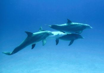 dolphins playing around in Nassau.  Coolpix5000. February... by Sally Thomson
