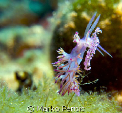 A Pink Flabelline (flabelline affinis) tending to its young. by Marko Perisic