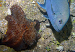 Trevally and octopus by Martin Dalsaso