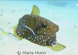 Gorgeous little boxfish being cleaned by a wrasse in Nuwe... by Maria Munn