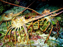 Lobster trio seen August 2008 in Grand Cayman.  Photo tak... by Bonnie Conley