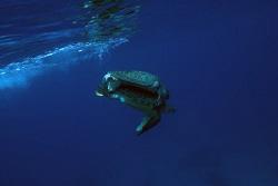 Mating green turtles by Erika Antoniazzo