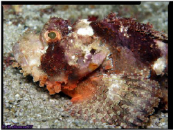Close up on Scorpion fish 