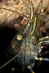 Common Shrimp, Trefor Pier, N.Wales, UK. by Heather Garland