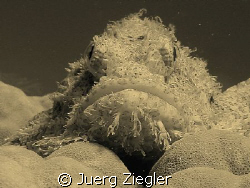 Scorpion Fish looking at you from corals - I can see you,... by Juerg Ziegler