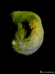Spooky! This large Green Moray was very friendly despite ... by Steven Anderson