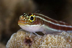 Portrait of Striped Threefin.  Ningaloo Reef, Western Aus... by Ross Gudgeon