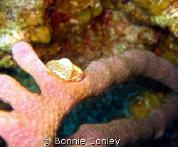 Flamingo Tongue seen  in Grand Cayman August 2008.  Photo... by Bonnie Conley