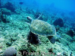 """Hawksbill Turtle (In Puerto Rico we call them """"CAREY"""" in ... by Frankie Rivera"""