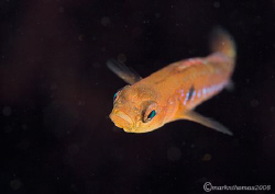 Two-spot Goby. Aughrusbeg, Connemara. 60mm. by Mark Thomas
